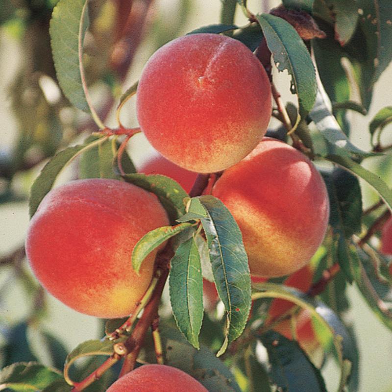 Buy mature fruit tree