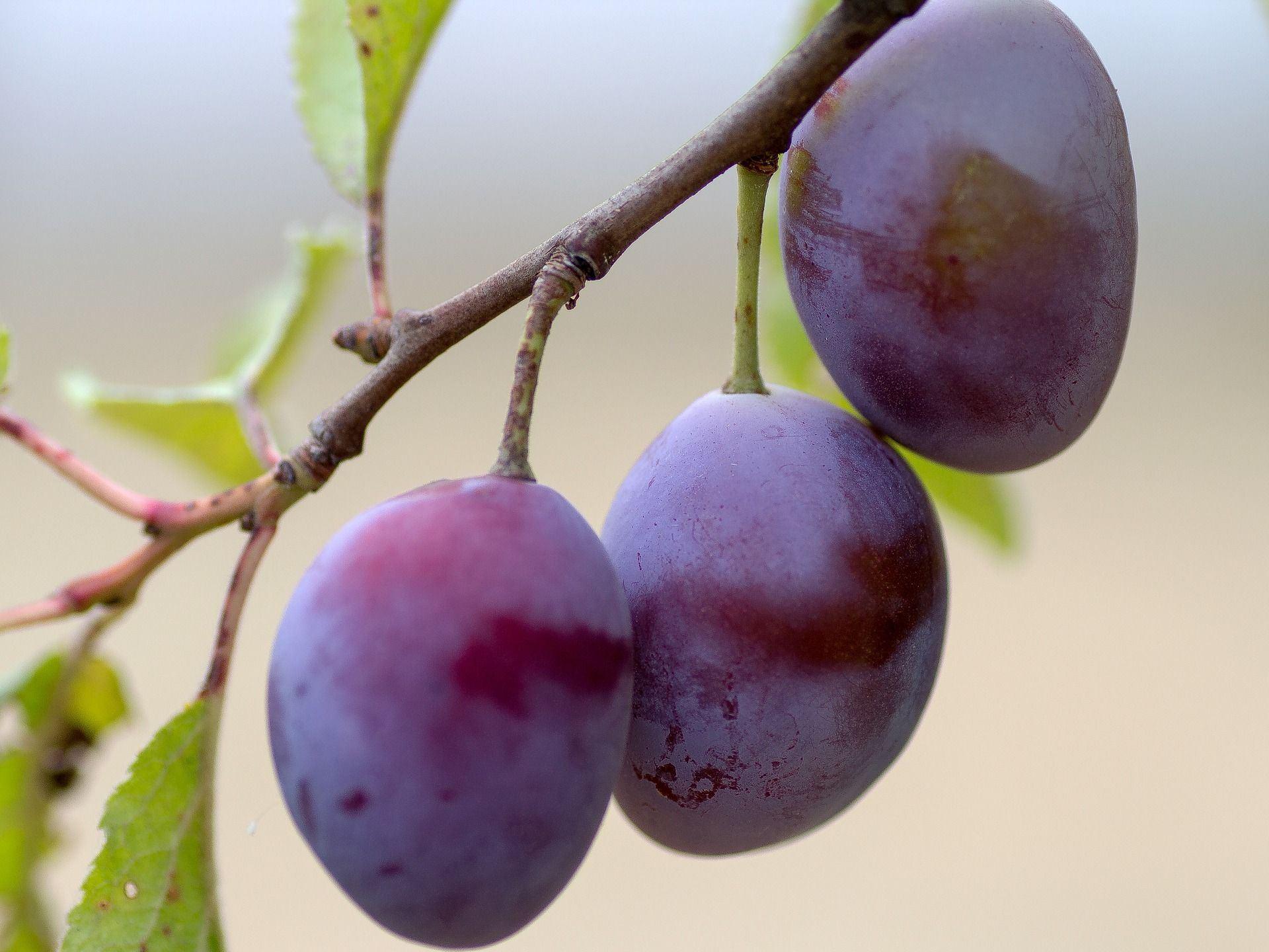 Serpentine reccomend fruit Buy tree mature