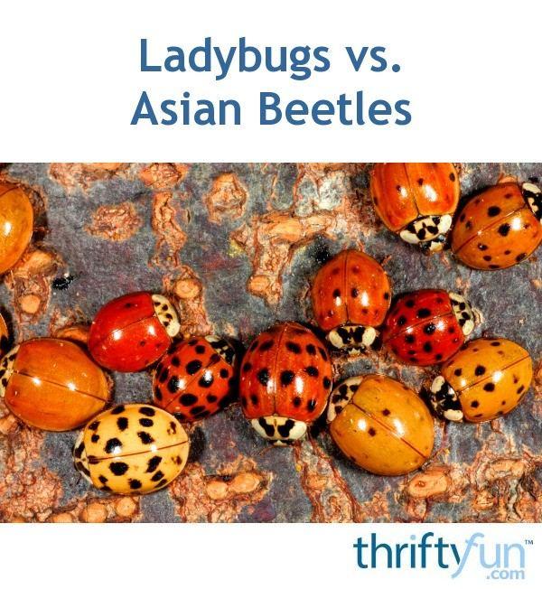 best of Ladybug killer Asian