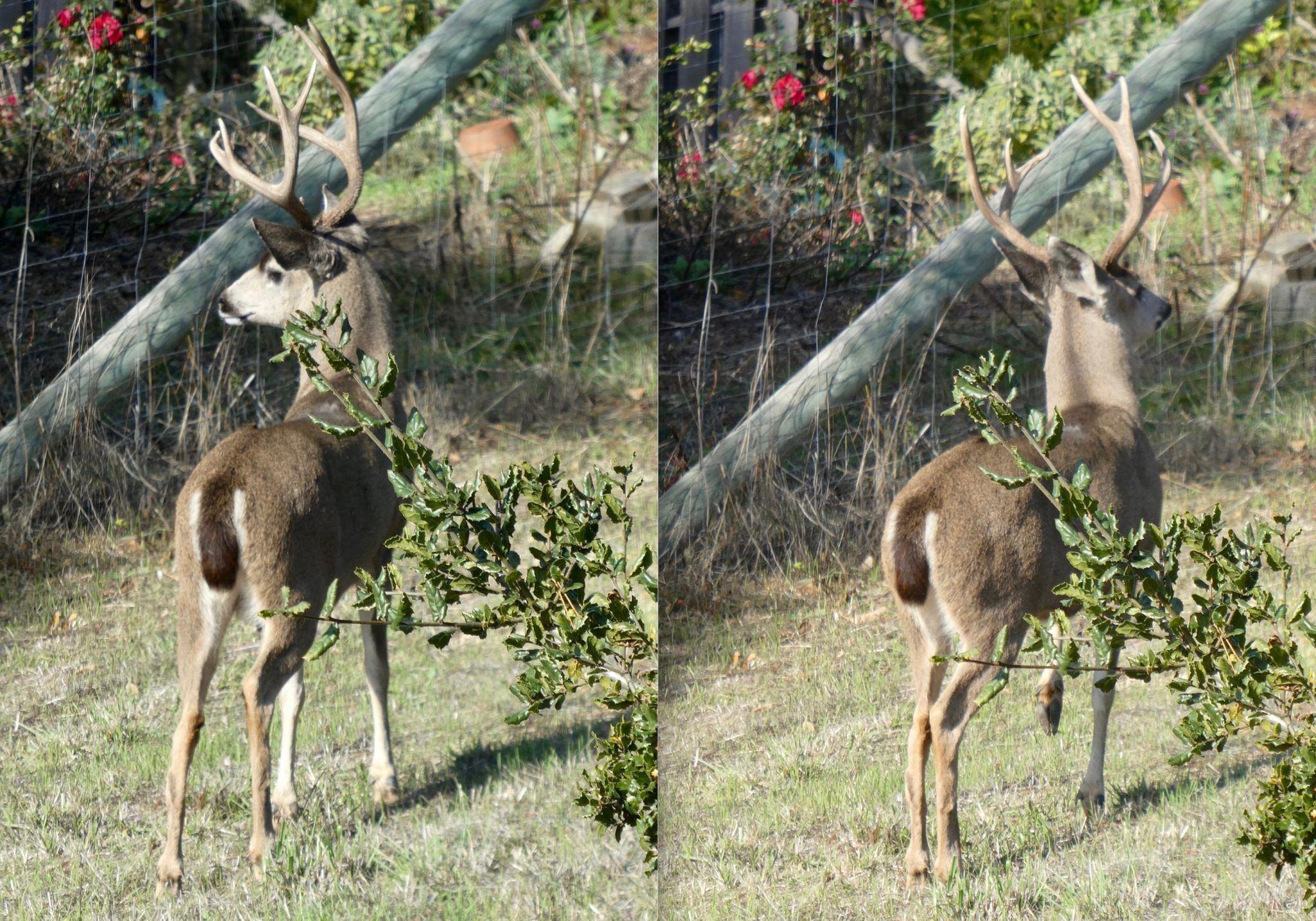 High-Octane reccomend Southeast asian deer ungulate