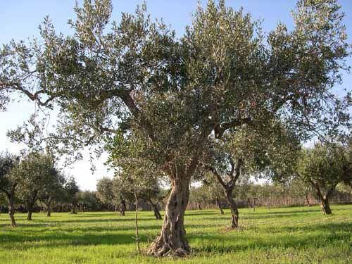 Stats reccomend Buy mature fruit tree