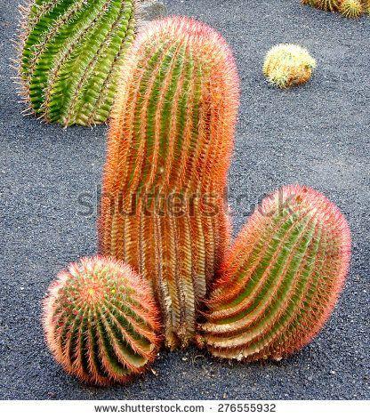 Ember reccomend Sagauro cactus shaped dildos