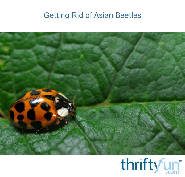 Asian ladybug killer