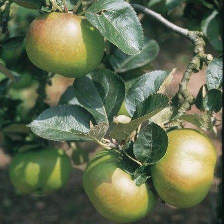 best of Mature fruit tree Buy